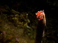 A cryptic teardrop crab (Pelia mutica) perches on a narrow coral on a night dive in Roatan, Honduras.
