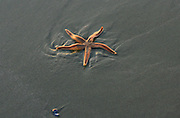 A beautiful orange starfish, beached at low tide on a Jekyll Island beach, slowly moving it's arms to try and get back to the sea.