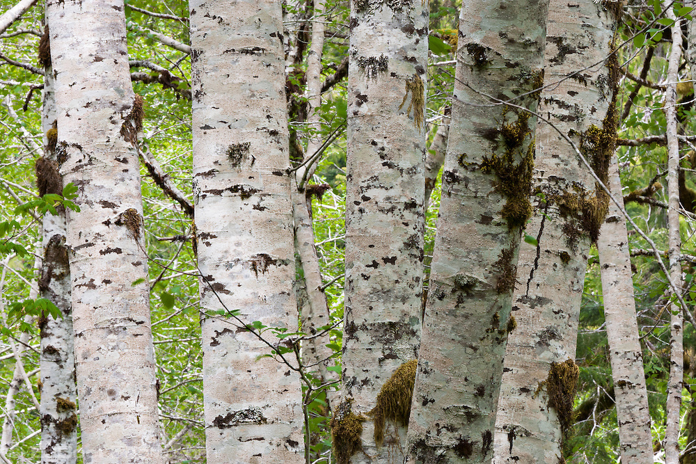Red Alder (Alnus rubra) forest in spring lichen and moss adorned tree trunks and green leaves in the Olympic National Forest in Washington, USA