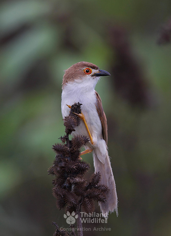 The yellow-eyed babbler (Chrysomma sinense) is a passerine bird species found in groups in open grass and scrub in south Asia.