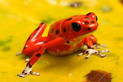 Strawberry Poison Frog (Dendrobates pumilio) Bocas del Toro islands,Rep.of Panamá, Central America