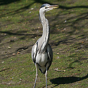 London,England,UK.9th April 2017. A Heron at St James Park, London,UK. by See Li