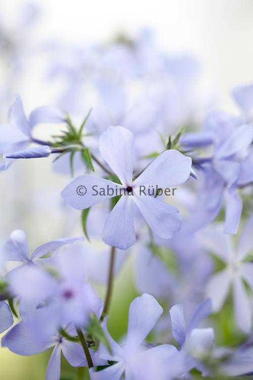 Phlox divaricata 'Clouds of Perfume' - phlox