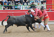 BEA AHBECBEA AHBECK/NEWS-SENTINEL<br /> Amadores de Ramo Grande de Terceira's Cesar Pires grabs the bull during the bloodless bullfight during the Our Lady of Fatima Portuguese Festival in Thornton Saturday, Oct. 15, 2016.