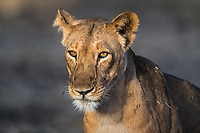 West African Lioness, Zakouma National Park, Chad