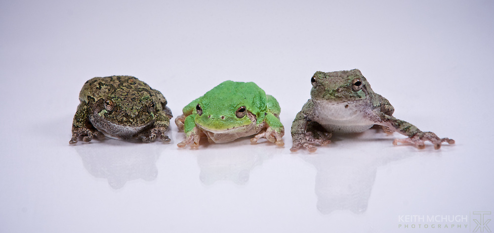 Three tree frogs gathering together.