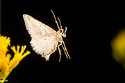 Moth flying at night and photographed with a high-speed photography. ©Michael Durham.