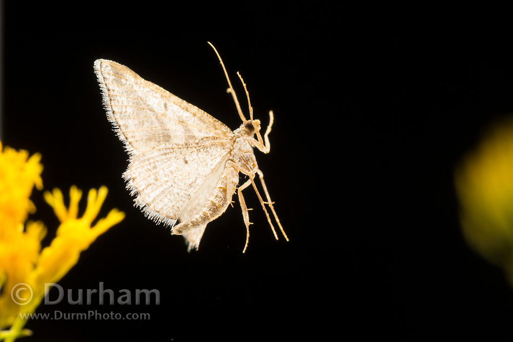 Moth flying at night and photographed with a high-speed photography. © Michael Durham.