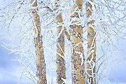 Frozen Branches on Winter Birch Tree, Spokane, Washington State