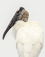Portrait of a Wood Stork