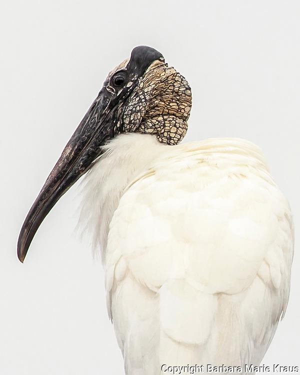 Portrait of a Wood Stork