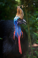 Southern Cassowary, Casuarius casuarius, also known as Double-wattled Cassowary, Australian Cassowary or Two-wattled Cassowary. Cassowaries are ratites, very large flightless birds in the genus Casuarius native to the tropical forests of New Guinea, nearby islands and northeastern Australia, Image by Andres Morya