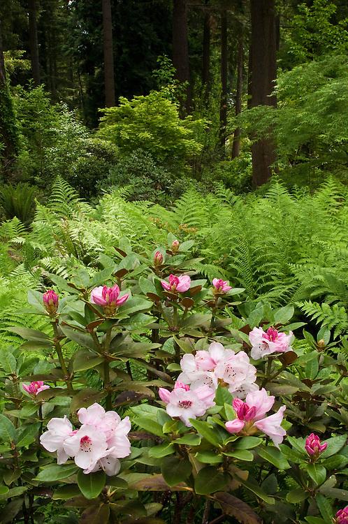 Rhododendron Species Garden, Federal Way, Washington.