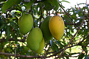 Distrito dos Maias_ MG...Detalhe de mangas na mangueira...Detail of mangos in the mango tree...Foto: LEO DRUMOND / NITRO