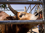 08 FEBRUARY 2014 - PHAWONG, SONGKHLA, THAILAND: A bull in a truck after a bullfight in rural Songkhla province, Thailand. Bullfighting is a popular past time in southern Thailand. Hat Yai is the center of Thailand's bullfighting culture. In Thai bullfights, two bulls are placed in an arena and they fight, usually by head butting each other, until one runs away or time is called. Huge amounts of mony are wagered on Thai bullfights - sometimes as much as 2,000,000 Thai Baht ($65,000 US).   PHOTO BY JACK KURTZ