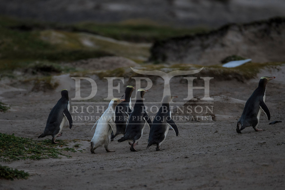 Megadyptes antipodes (Yellow eyed penguin) rare white morph at Sandy Bay, Enderby Island, Auckland Islands, New Zealand.<br /> 16 January 2016<br /> Photograph Richard Robinson &copy; 2016