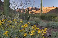 Brittlebush (Encelia farinosa),Organ Pipe Cactus National Monument Arizona