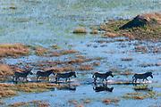 Aerial view of  plains zebras (Equus quagga) walking in Okavango Delta floodplains.