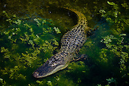 In the River - American Alligator - Everglades National Park, Florida Edition of 100 EXP0275