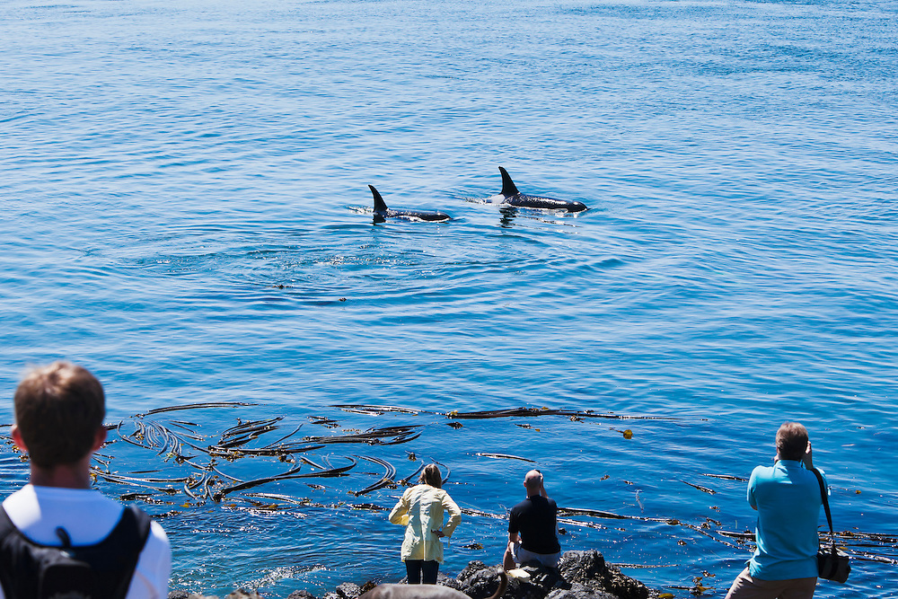 Tourists watch on as a Mother and juvenile Orca pass by Lime Kiln State Park on San Juan Island, Washington, USA.