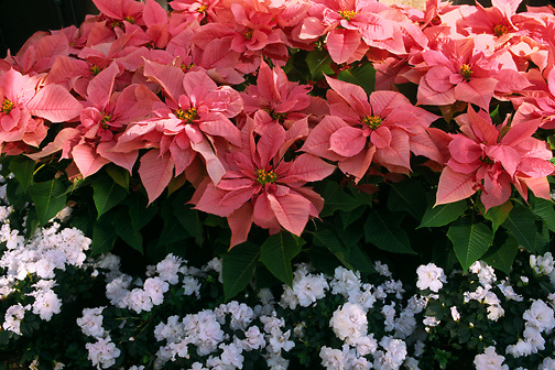 pink pointsettias & white azaleas; Clematis armandii; China & Indian hybrid azalea; Christmas flowers