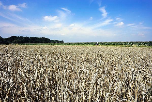 Nederland, Ubbergen, 6-8-2008Een veld met tarwe, graan is klaar om te oogsten. Tarweveld,graanveld.Foto: Flip Franssen/Hollandse Hoogte