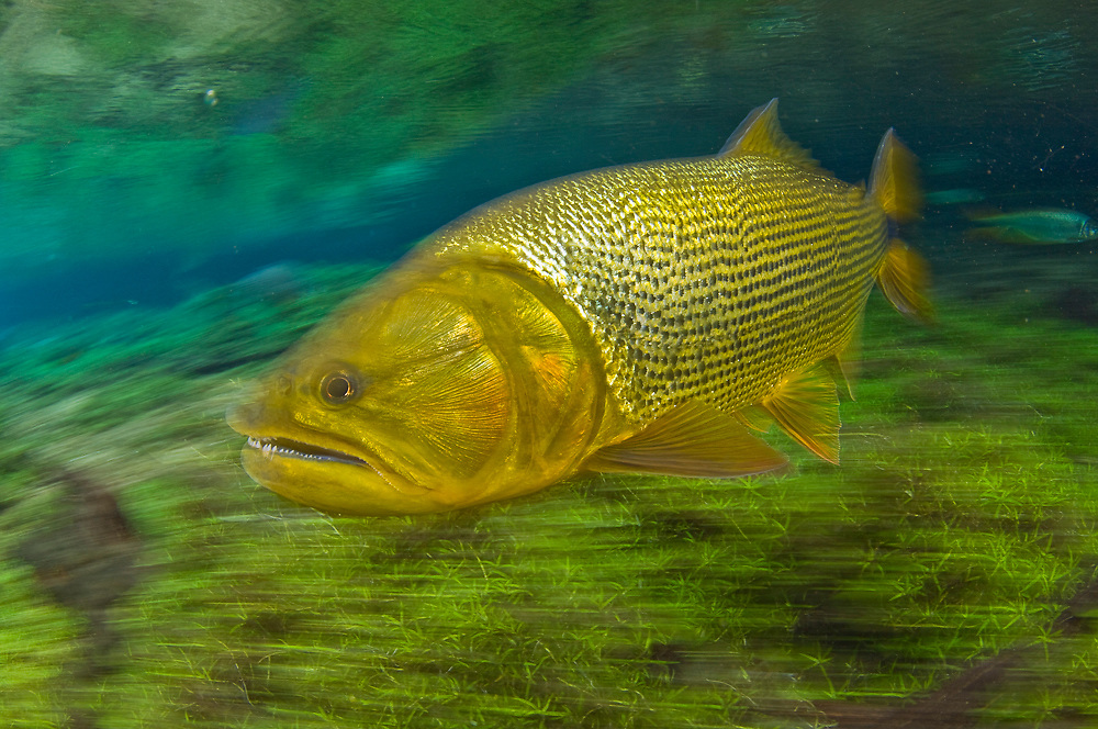 Dourado (Salminus brasiliensis), a large, predatory gamefish found in Central and Western Brazil. It can reach up to 4ft. in length and 40lbs and lives in large and small rivers in the region.