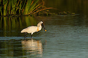 Spoonbill (Platalea leucorodia)<br /> Wetland Reserve<br /> Doñana National & Natural Park. Huelva Province, Andalusia. SPAIN<br /> 1969 - Set up as a National Park<br /> 1981 - Biosphere Reserve<br /> 1982 - Wetland of International Importance, Ramsar<br /> 1985 - Special Protection Area for Birds<br /> 1994 - World Heritage Site, UNESCO.<br /> The marshlands in particular are a very important area for the migration, breeding and wintering of European and African birds. It is also an area of old cultures, traditions and human uses - most of which are still in existance.<br /> <br /> Mission: Iberian Lynx, May 2009<br /> © Pete Oxford / Wild Wonders of Europe<br /> Zaldumbide #506 y Toledo<br /> La Floresta, Quito. ECUADOR<br /> South America<br /> Tel: 593-2-2226958<br /> e-mail: pete@peteoxford.com<br /> www.peteoxford.com
