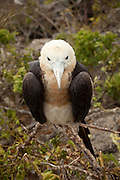 A female great frigatebird chick (Fregata minor) on Genovesa Island, Galapagos Archipelago - Ecuador.