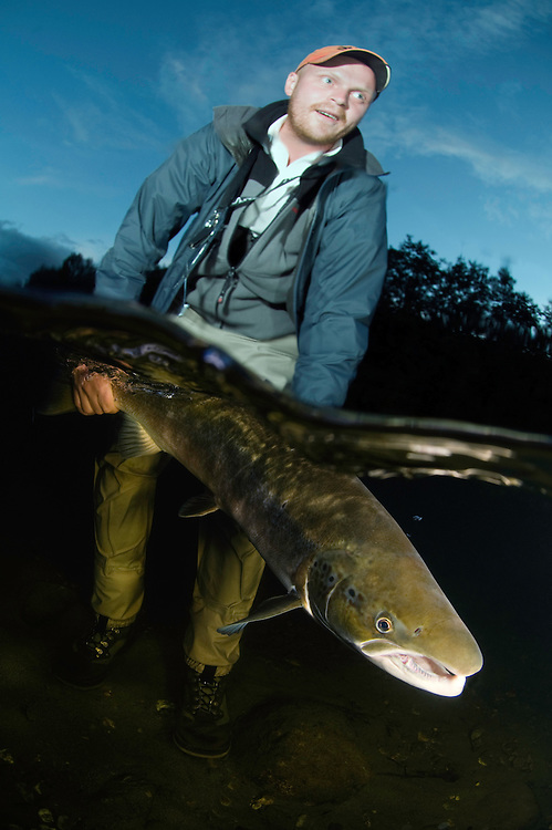 Atlantic Salmon, Salmo salar. Flyfishing at River Orkla, Rennebu, Norway.<br /> Model name: Krister Hoel-Model release form valid by photographer. Photographed at catch/release fishing.