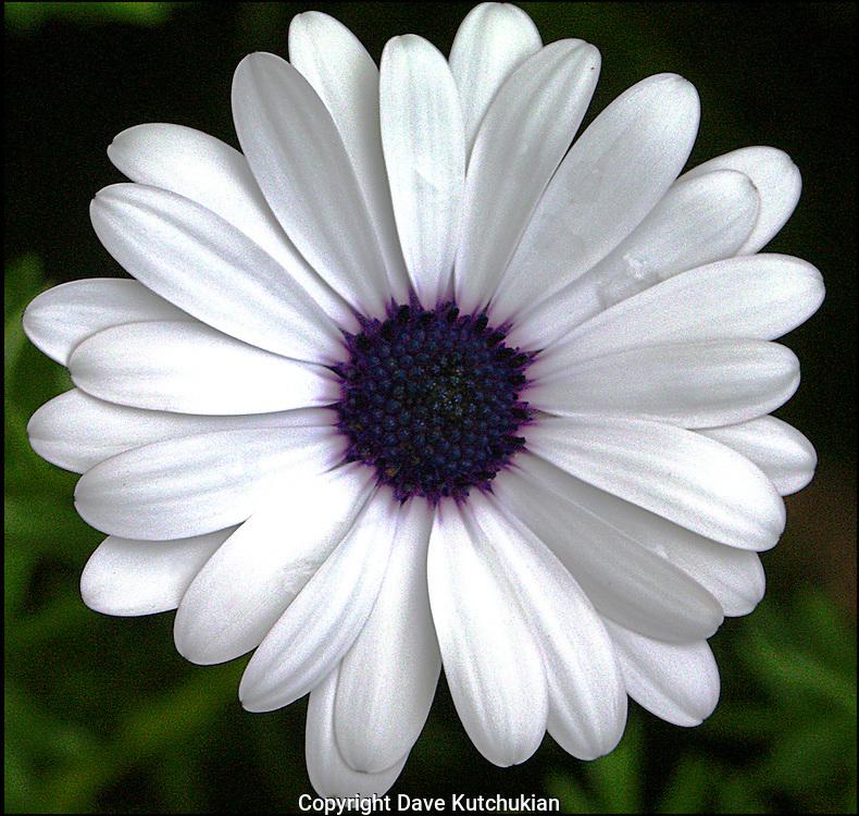 white daisy, blue center