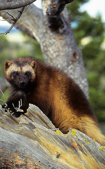 Wolverine, (Gulo gulo) In foothills of the Rocky mountains. Montana.  Captive Animal.