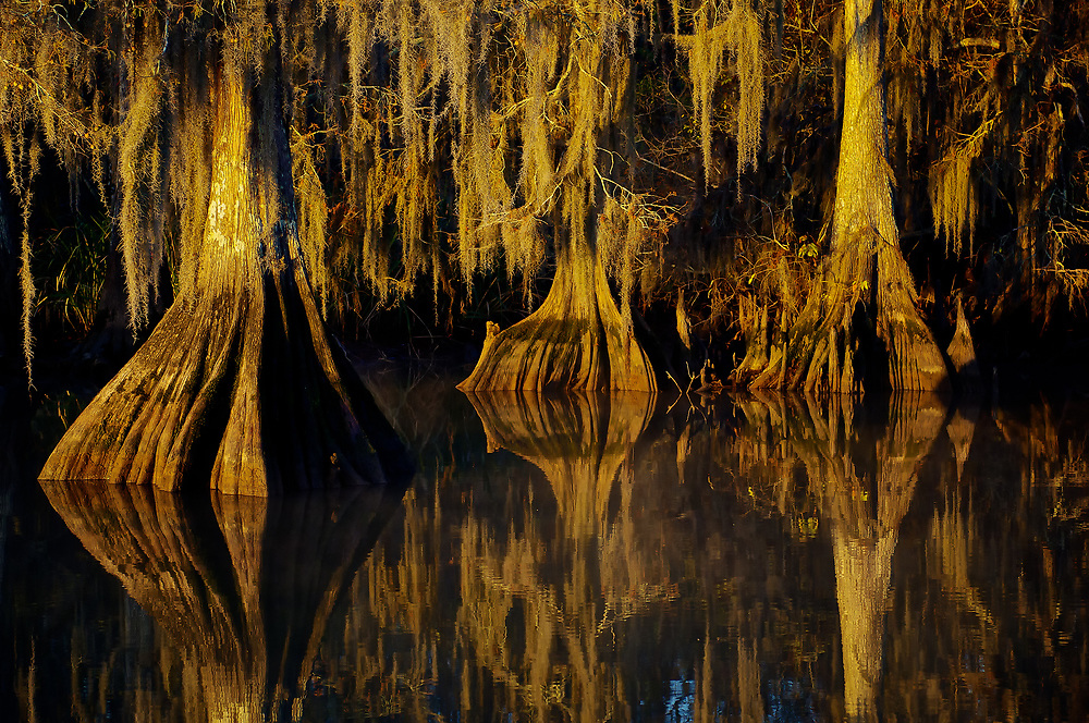 Cypress Trees – Atchafalaya Basin, Lake Dautreve, Louisiana