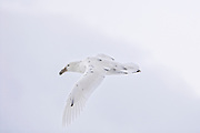 This Giant Petrel appears with like the clouds because he is a white morph.