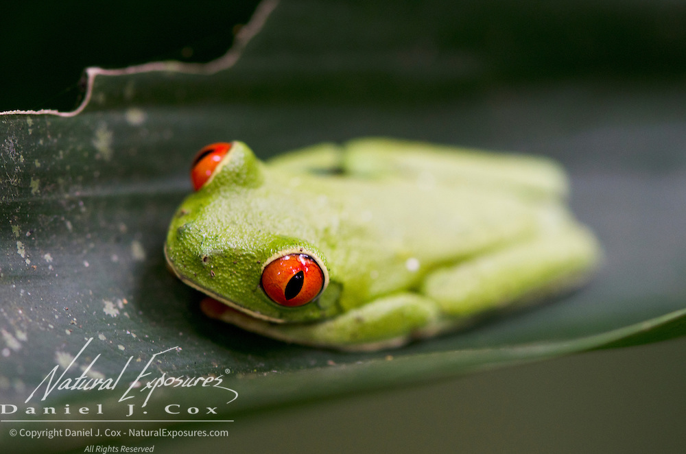 Red-eyed tree frog (Agalychnis callidryas) in Costa Rica.