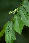 Monkey Lizard (Polychrus marmorata)<br /> Rain Forest<br /> Iwokrama Reserve<br /> GUYANA<br /> South America