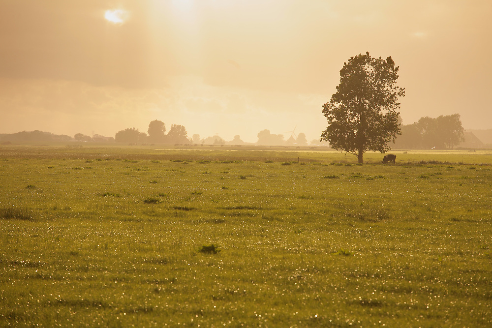 Meadow with trees and cows // Weide met bomen en koeien, Wommels.