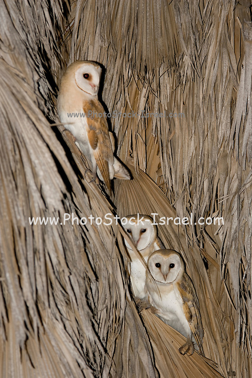 Barn Owl (Tyto alba) 3 on a Palm tree at night, Hefer valley, Israel