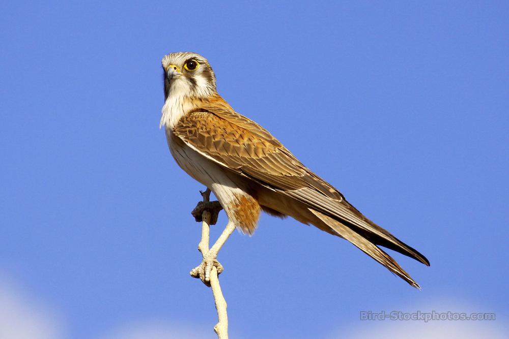 Nankeen Kestrel, Falco cenchroides, Australia, by Jonathan Rossouw