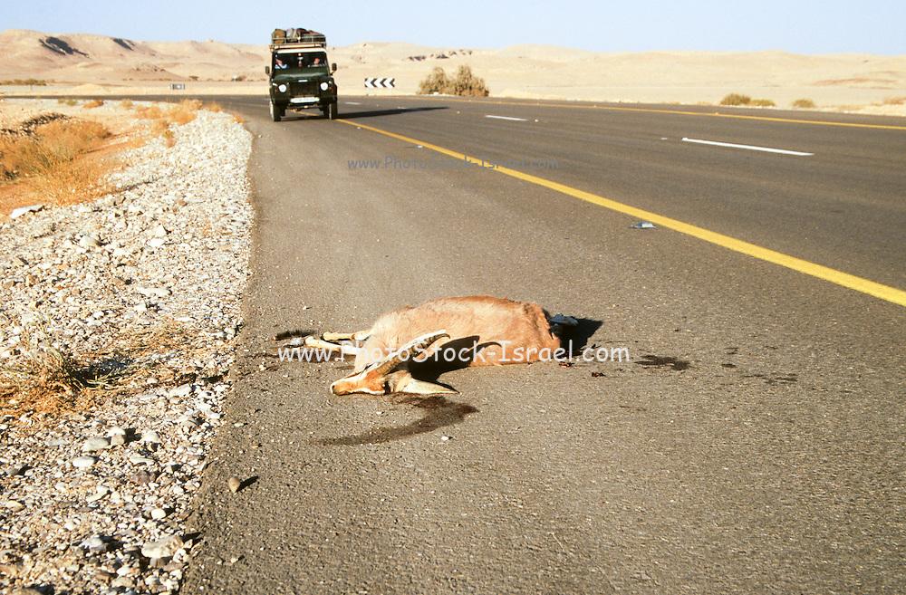 Israel, Roadkill on side of road