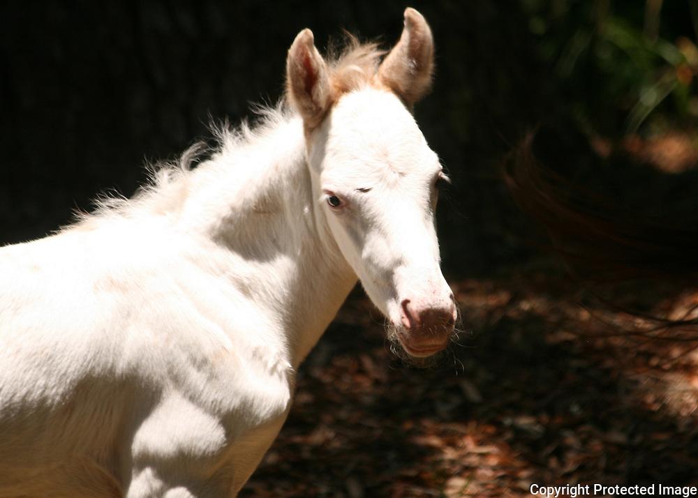 Headshot of a wild white foal on Cumberland Island.