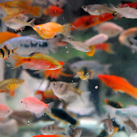 Asia, China, Chongqing. Local street market in the city of Chongqing - aquatic goldfish for sale.