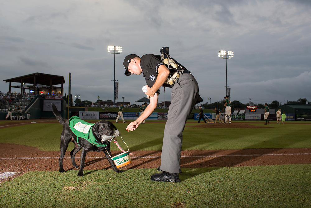 Miss Babe Ruth, one of three bat dogs for the Greensboro Grasshoppers, brings a bucket of balls to the umpire during a game against the Hickory Crawdads at NewBridge Bank Park, Greensboro, North Carolina, Monday, June 21, 2014.