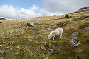 Snowdonia sheep, Wales