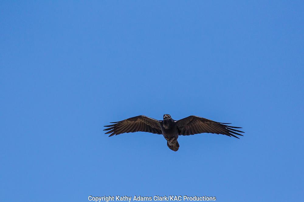 Common raven, Corvus corax , flying, Big Bend National Park, Chihuahuan Desert, west Texas