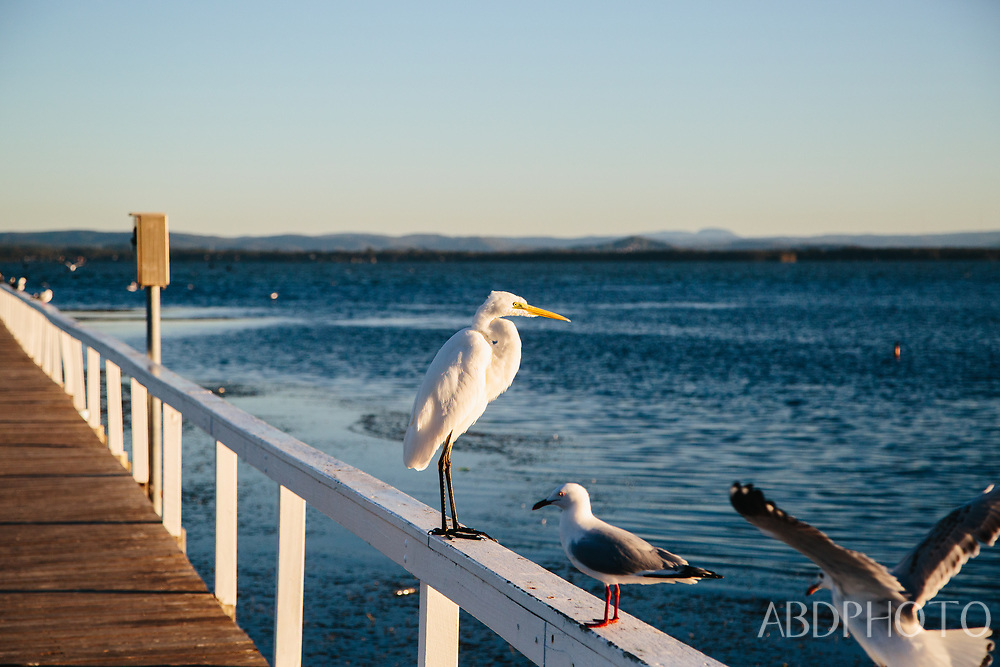 Long Jetty Central Coast Australia birds in the morning