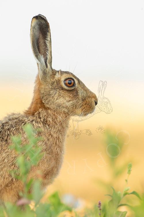 European Hare (Lepus europaeus) adult alert in field margin, South Norfolk, UK. June.