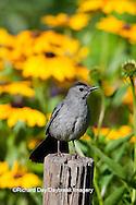 01392-03613 Gray Catbird (Dumetella carolinensis) in flower garden with Black-eyed Susans (Rudbeckia hirta) Marion Co., IL