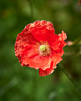 Red Poppy. Image taken with a Leica CL camera and 60 mm f/2.8 lens
