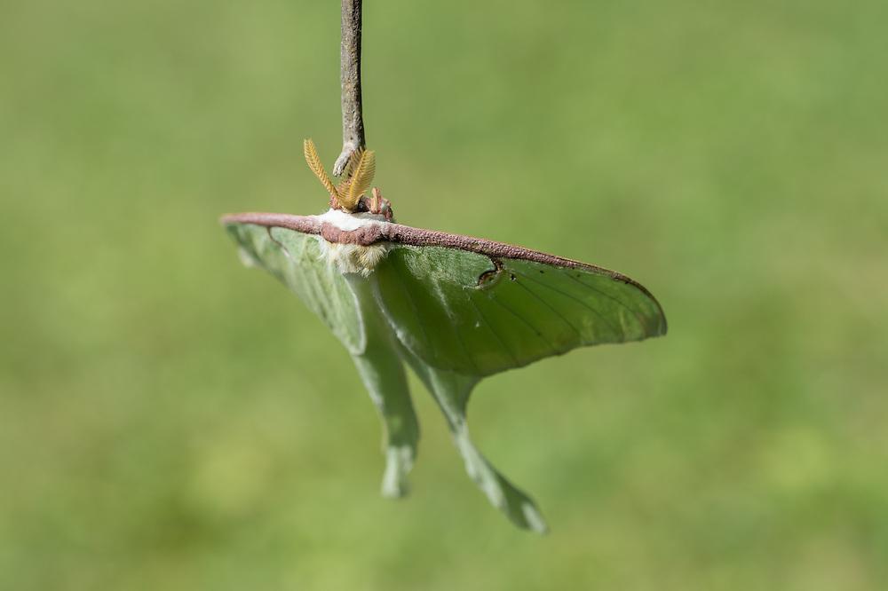 Luna Moth Lake Placid NY